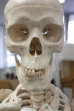 Human Skull Anatomical Model. Front view of an anatomical model of the human skeleton Royalty Free Stock Images