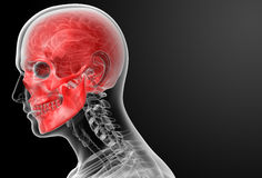 Human skull anatomy Royalty Free Stock Photography