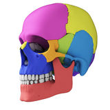 Human skull anatomy. 3d rendered illustration - human skull anatomy stock illustration