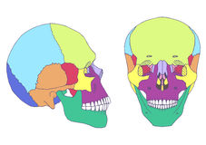 Human skull anatomy,. Medical illustration, front and side view stock illustration