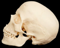Human skull on black background in profile Stock Photos