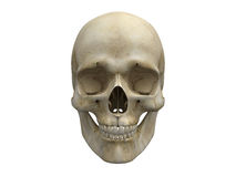 Human skull bones frontal view. Frontal view of human scull. Anatomy illustration. Medical image. Sign of death. Symbol of dying Stock Image