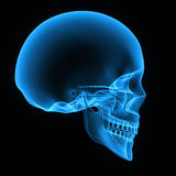 Human Skull. The human skull is a bony structure, the head in the skeleton, which supports the structures of the face and forms a cavity for the brain Royalty Free Stock Photo