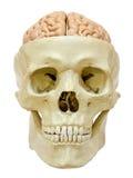 Human skull with brain stock photography