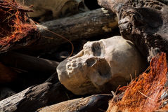 Human Skull Buried between Prostrated Logs. The sun shines Royalty Free Stock Image