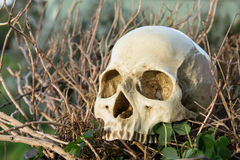 Human skull in the bush Royalty Free Stock Image
