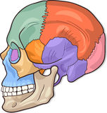 Human Skull Diagram Illustration royalty free illustration
