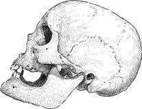 Human skull drawing Stock Photos