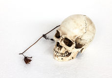 Human skull with dry flower Stock Image