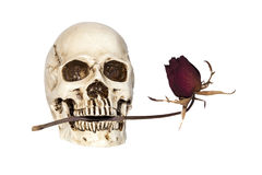 Human skull with dry rose in mouth Stock Images