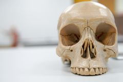 Human skull on the white background. Human skull for eduction on the white background Royalty Free Stock Images