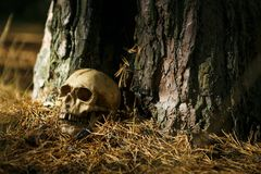 Human skull in the forest on the ground near the tree trunk, sprinkled with pine needles and illuminated by a beam of light. stock photo