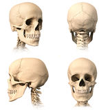 Human skull, four views. Royalty Free Stock Photo