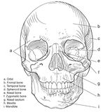 Human skull frontal Vector. Frontal aspect of the Human skull with full description for students Royalty Free Stock Photography