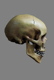 Human Skull on 50% Gray Background Royalty Free Stock Image
