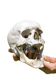 Human skull on hand 8 Stock Photography