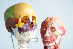 Human skull and head Royalty Free Stock Images