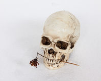 Human skull hold dried flower in mouth Royalty Free Stock Images