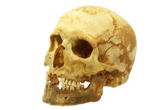 Human skull isolated Stock Images