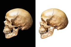 Human skull isolated. Side of human skull isolated on black and white background with clipping path Royalty Free Stock Images