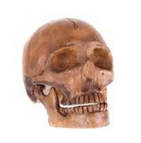 Human Skull Isolated Stock Photography