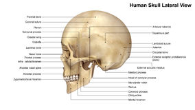 Human Skull Lateral view Royalty Free Stock Images