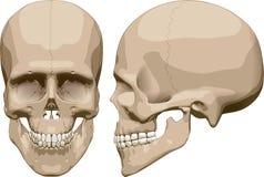 Human skull (male). Vector illustration Stock Image