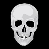 Human Skull Model. Stock Images