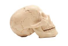 Human skull model Royalty Free Stock Photography