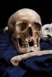 Human skull model. Royalty Free Stock Images