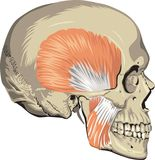 Human skull muscles Royalty Free Stock Image
