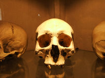 Human Skull. In Museum on the Glass Royalty Free Stock Images