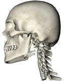 Human skull and neck lateral. Human skull and cervical spine (neck) lateral anatomical 3D illustration on white background stock illustration