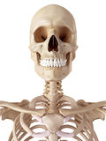 The human skull and neck Royalty Free Stock Photo