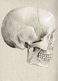 Human Skull in Profile Royalty Free Stock Photos