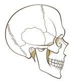 Human skull profile Stock Photo
