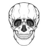 Human skull realistic hand drawing isolated. Stock line vector illustration.r Outline drawing.rr Royalty Free Stock Photos