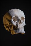 Human skull, replica from real model Royalty Free Stock Photo
