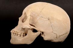 Human skull right view Royalty Free Stock Photography