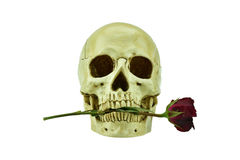 Human skull with rose between its teeth Royalty Free Stock Photography