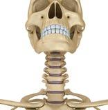 Human skull skeleton: throat, isolated Stock Photography