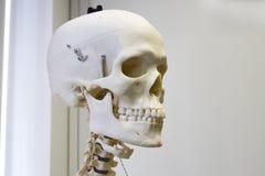 Plastic human skull. Human skull slight side view for medical education royalty free stock image