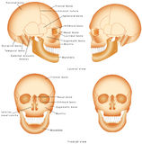 Human Skull structure. Royalty Free Stock Photos