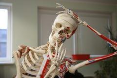 Human skull Stock Photography
