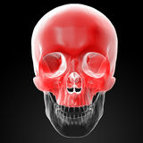 Human Skull. Upper half. Royalty Free Stock Photography