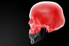 Human Skull. Upper half. Royalty Free Stock Photo