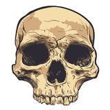 Human Skull Vector Art. Hand drawn illustration. Human Skull Vector Art. Detailed hand drawn illustration of skull on background. Tattoo style skull art. Grunge Stock Image