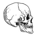 Human Skull Vector Art. Hand drawn illustration. Human Skull Vector Art. Detailed hand drawn illustration of skull on background. Tattoo style skull art. Grunge vector illustration