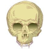 The human skull. Stock Photography