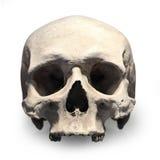 Human skull. Royalty Free Stock Photo
